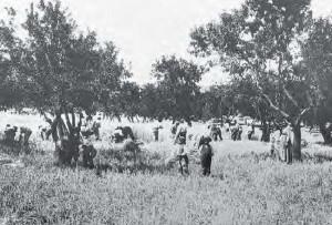 Vecchi impianti di mandorli e ulivi e colture cerealicole (Fototeca del Museo Civico di Agrigento) 1920 ca.