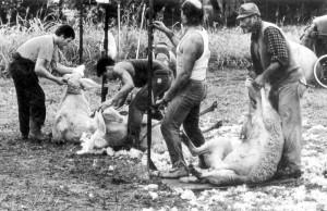 7 Antichi mestieri_ tosatore pecore